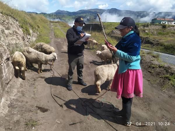 proyecto de ovinos de raza Chimborazo