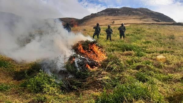 Plantas de amapola fueron destruidas.